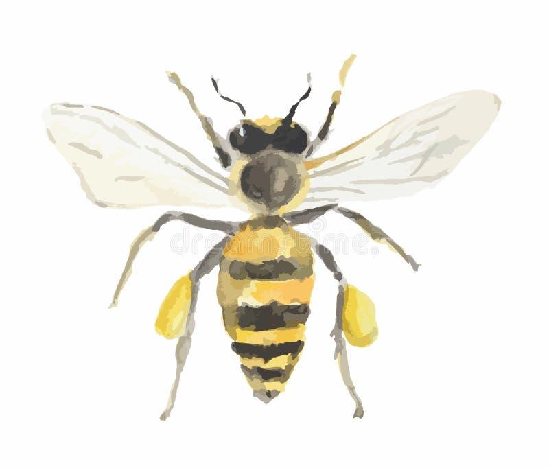 Odosobniona akwareli pszczoła ilustracji