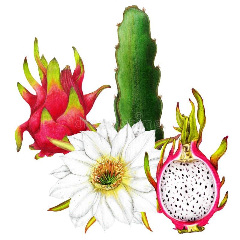 Odosobniona botaniczna ilustracja smok owoc ilustracji