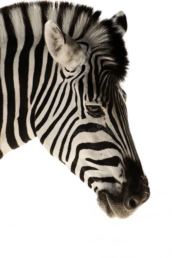 odosobniona głowy zebra obraz stock