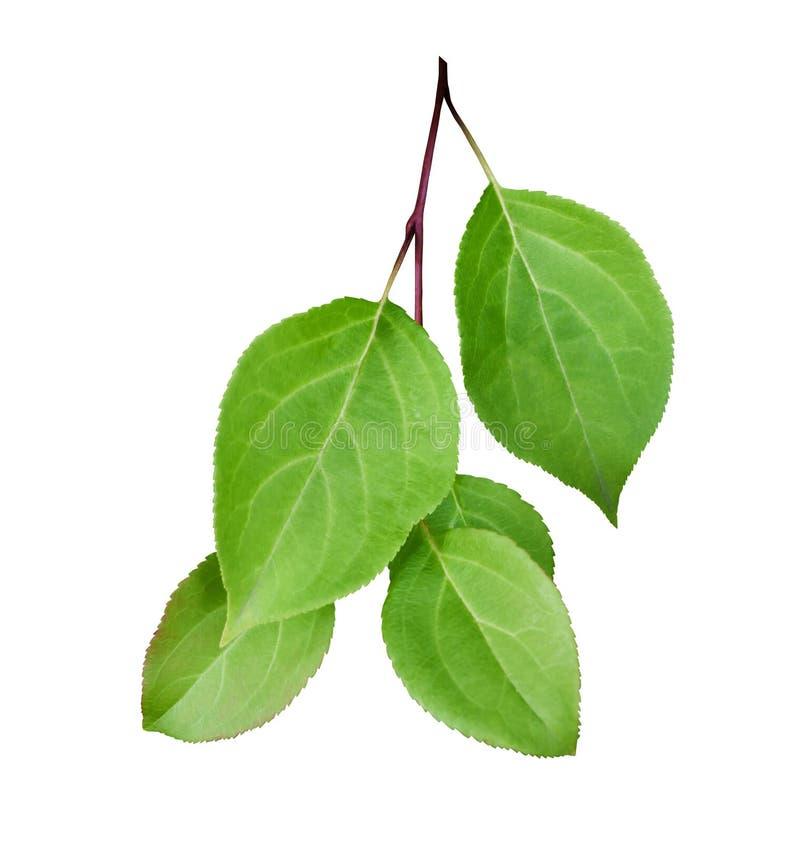 Odosobniona gałąź drzewo z jasnozielonymi liśćmi na białym tle zdjęcia stock
