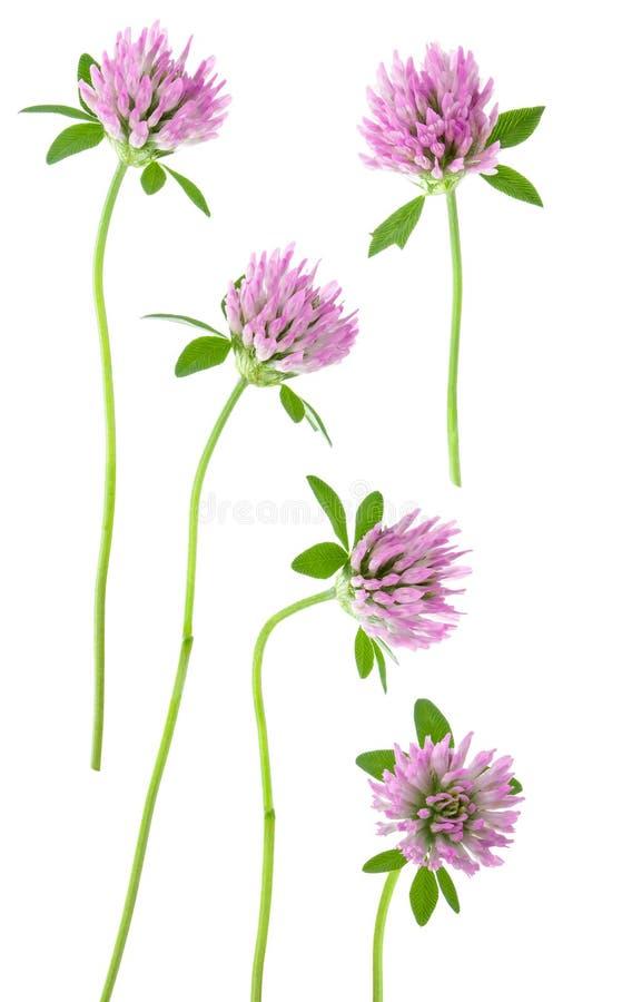 Odosobniona koniczyna Set różowa koniczyna kwitnie na trzonie z liściem odizolowywającym na białym tle zdjęcia stock