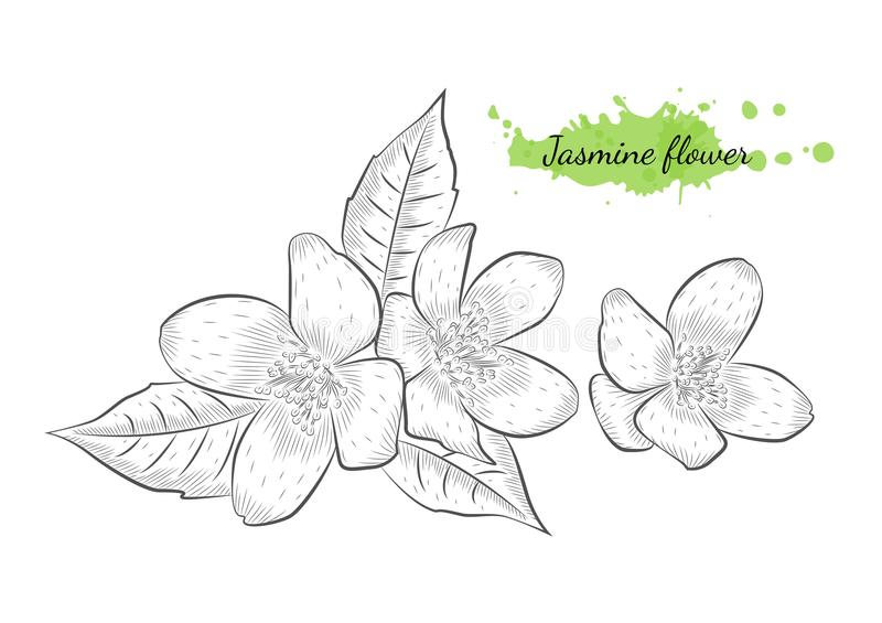 Odosobniona ręka rysująca wektorowa ilustracja jaśminowy kwiat fotografia royalty free