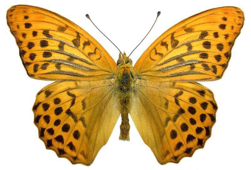Odosobniona samiec Myjący Fritillary motyl zdjęcia stock