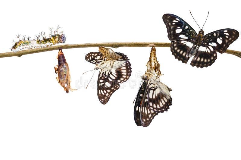 Odosobniona transformacja Fladrujący sierżanta motyl & x28; Ath zdjęcia royalty free