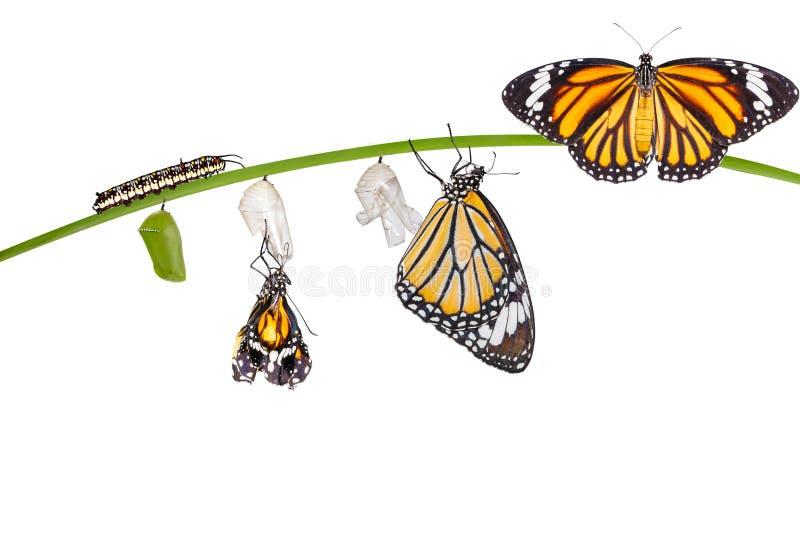 Odosobniona transformacja pospolity tygrysi motyl wyłania się od fotografia stock