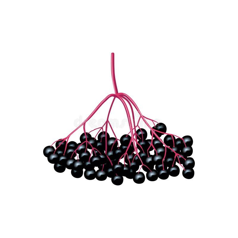 Odosobnione czarne jagody na gałąź czarny rodzynek, elderberry, chokeberry Owoc odizolowywa? ilustracja wektor