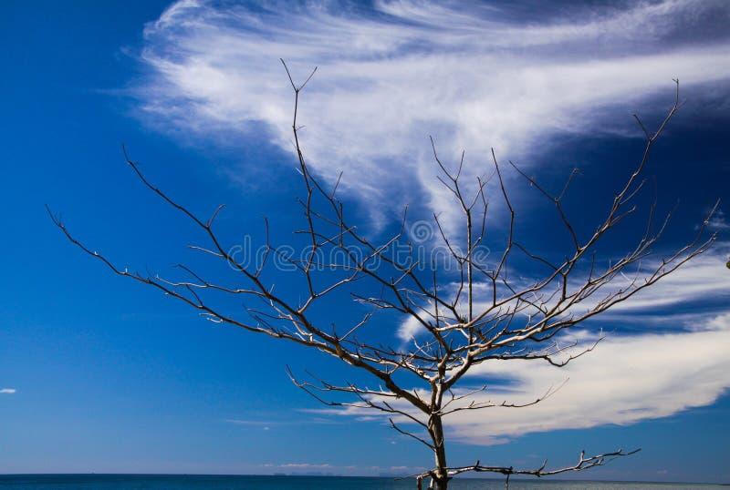 Odosobnione gałąź nagi drzewo na tropikalnej wyspie Ko Lanta przeciw niebieskiemu niebu z białymi chmur pierzastych chmurami obraz royalty free