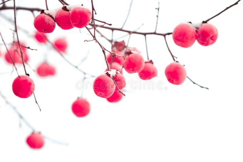 Odosobnione persimmon owoc pod śniegiem zdjęcia royalty free