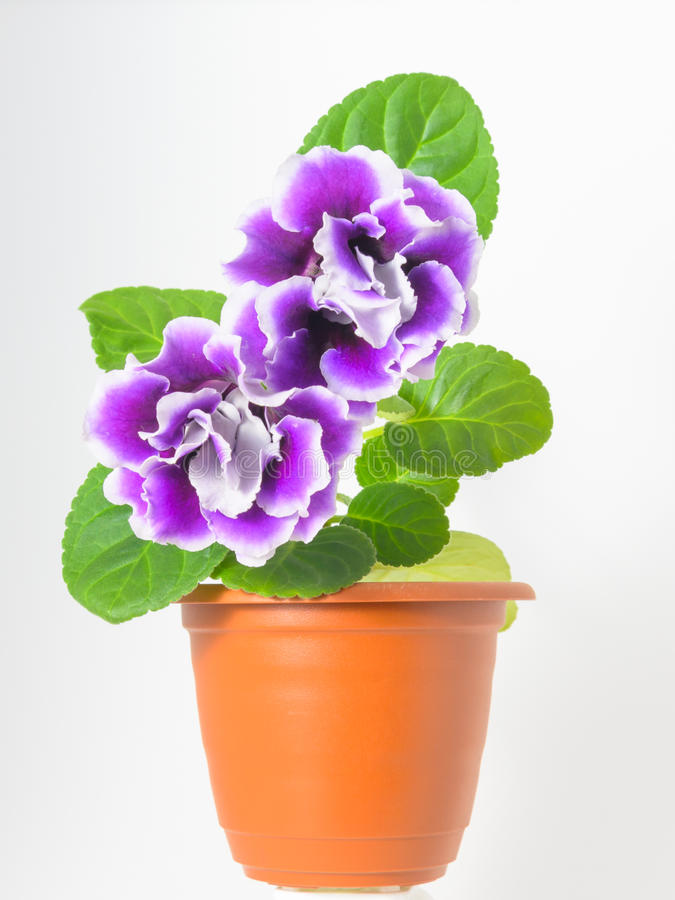 Odosobnione purpury kwitną gloksynie w brown garnku fotografia stock