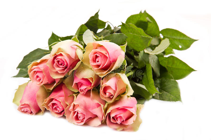 odosobnione różowe róże fotografia royalty free
