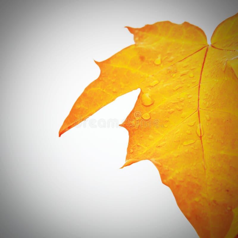 odosobnionego liść klonowy biały kolor żółty obrazy stock