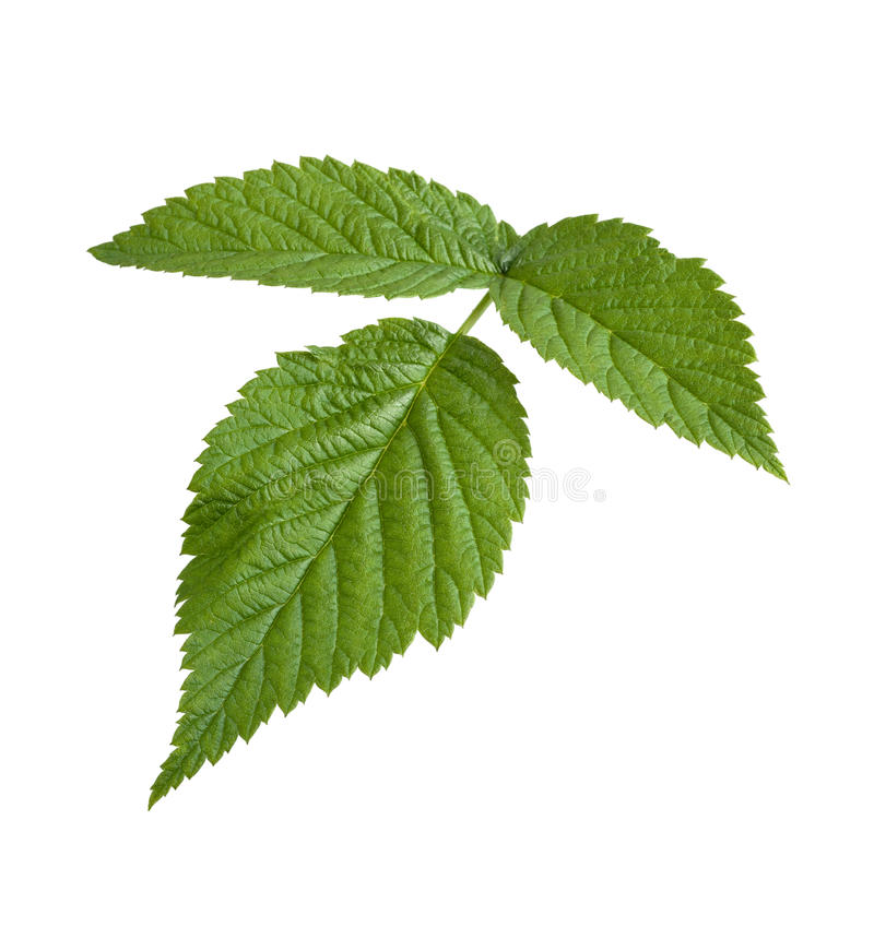 odosobnionego liść malinowy biel zdjęcie stock