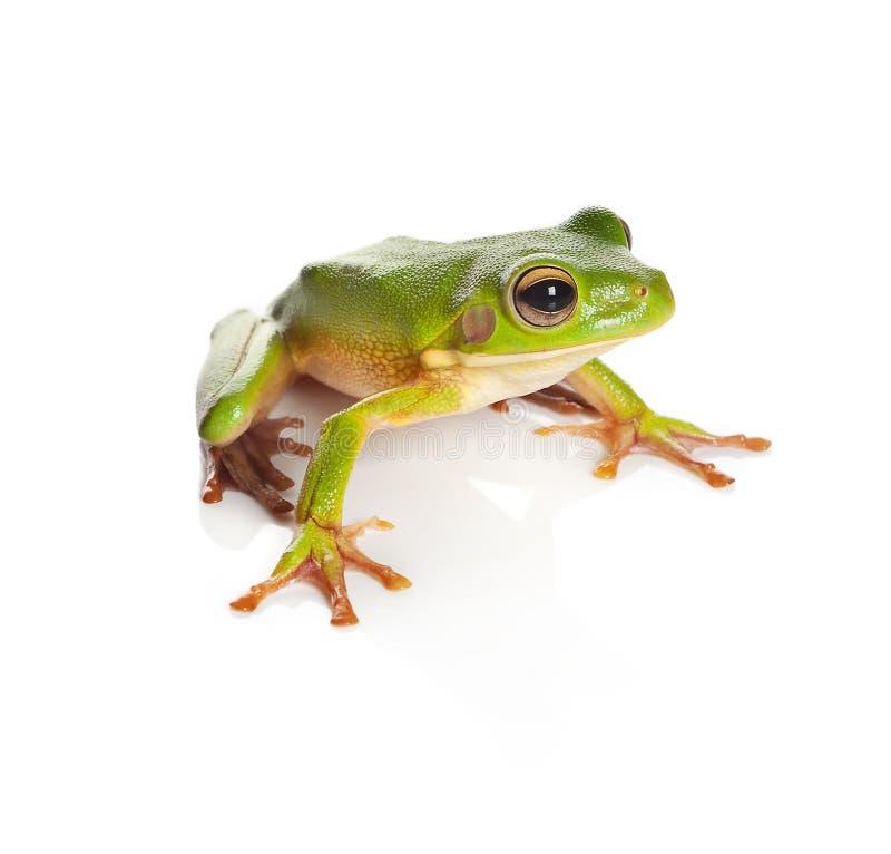odosobniony żaby drzewo zdjęcia stock