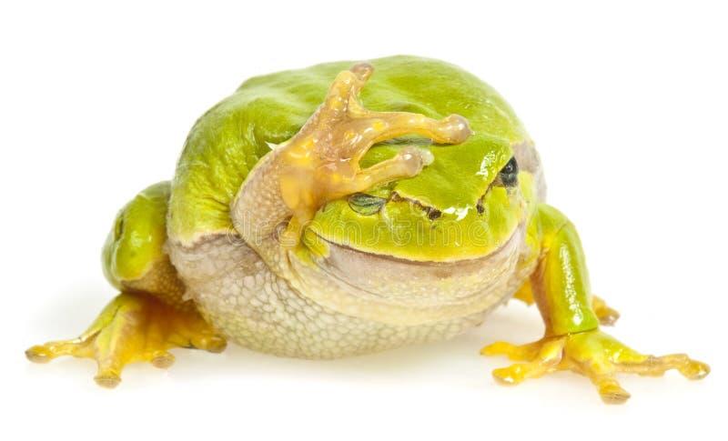 odosobniony żaby drzewo obraz stock