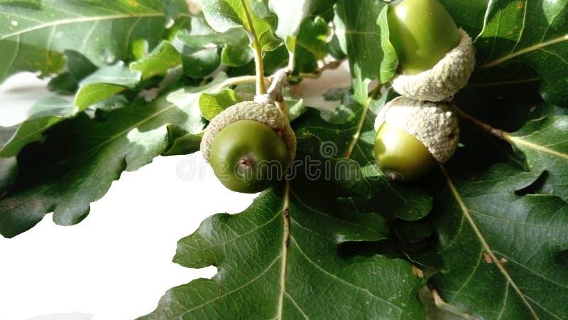 Odosobniony acorn z liściem na bielu zdjęcie stock