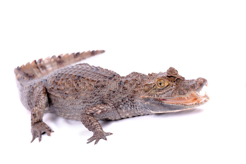 odosobniony aligatora biel zdjęcie royalty free