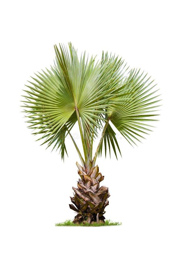 Odosobniony betlu drzewko palmowe na białym tle obrazy stock