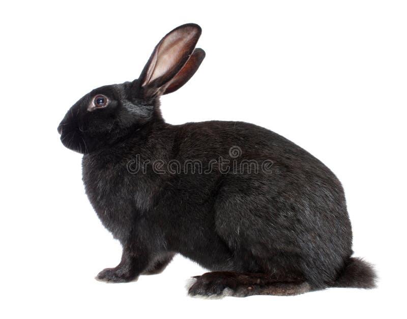 odosobniony czerń królik zdjęcie stock