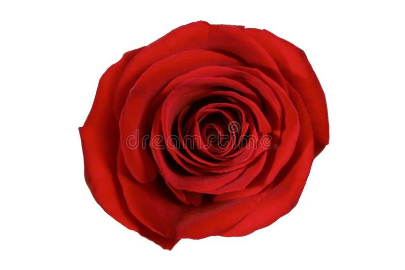 odosobniony czerwieni róży biel obraz royalty free