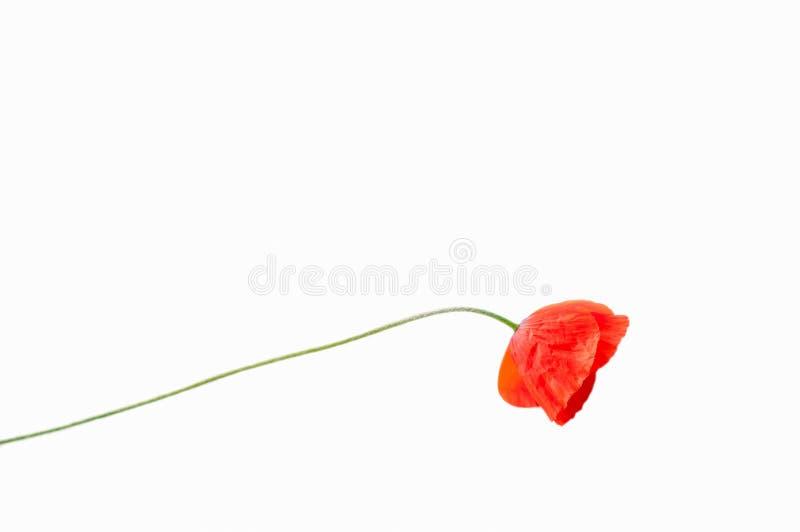 Odosobniony czerwony kwiatu maczek na białym tle zdjęcia stock
