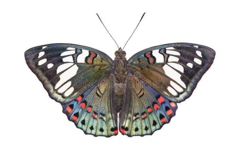Odosobniony dorsalny widok Pospolity Jarmarczny Baron motyl Euthalia obrazy stock