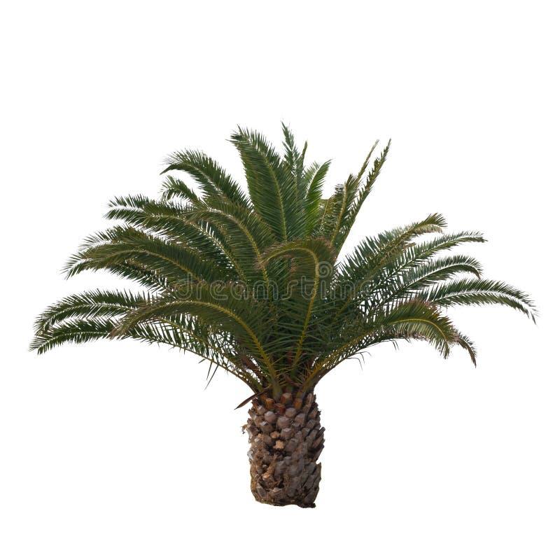 Odosobniony drzewko palmowe zdjęcia royalty free