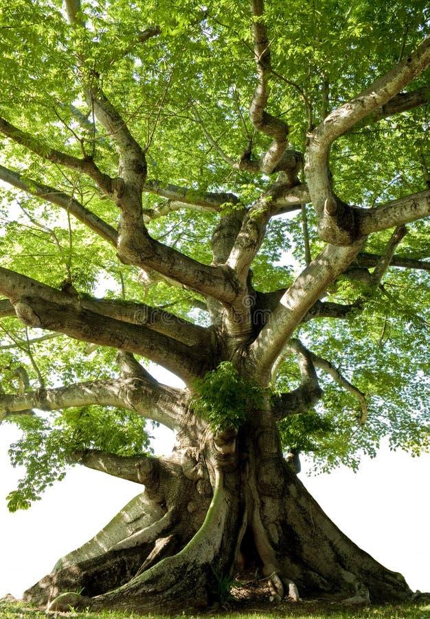 odosobniony drzewo obraz stock