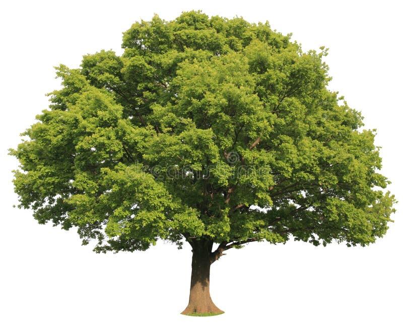 odosobniony drzewo zdjęcie stock
