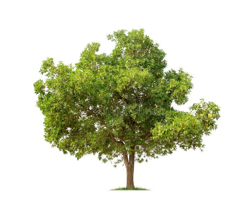Odosobniony drzewo na białym tle obrazy royalty free