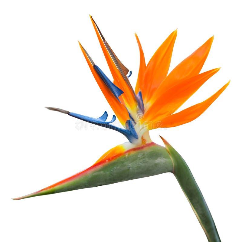 Odosobniony egzotyczny tropikalny kwiat Strelitzia reginae lub ptak raj obraz stock