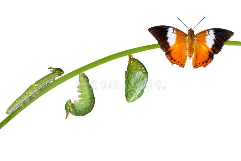 Odosobniony etap życia Tawny Rajah motyl na bielu zdjęcia stock