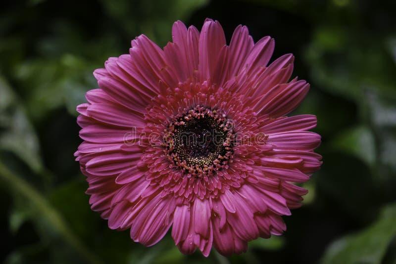 Odosobniony Gerbera stokrotki menchii kwiatu HD wizerunek Zamknięty w górę obraz stock