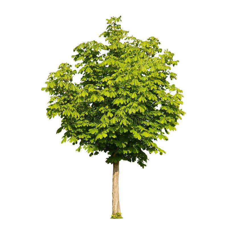 odosobniony kasztanu drzewo obrazy stock