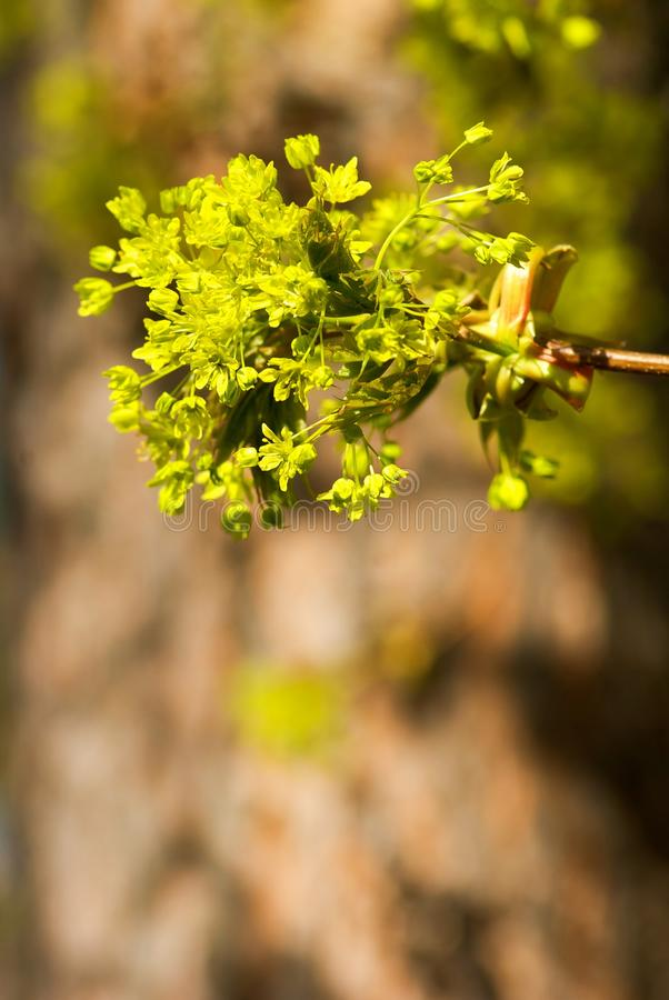 Download Odosobniony Klonowego Drzewa Biel Zdjęcie Stock - Obraz złożonej z kwiaty, szczegółowy: 53793700