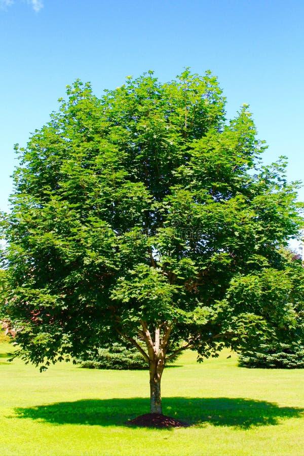 odosobniony klonowego drzewa biel obrazy stock