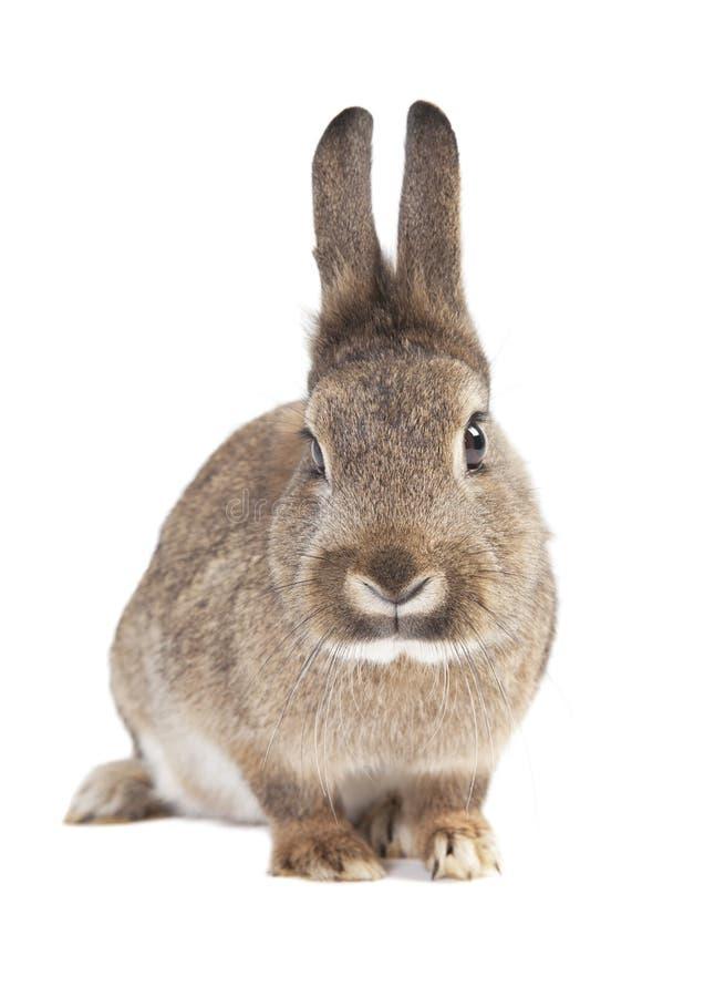odosobniony królik fotografia stock