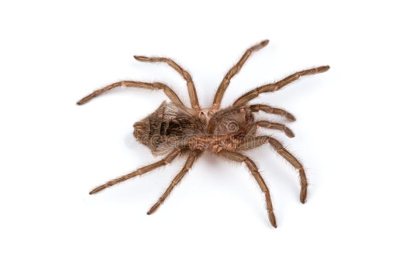 Odosobniony krótkopęd pająka ` s obrzuca zdjęcie stock