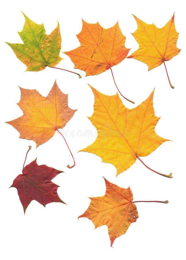 odosobniony liść klonowy real skanujący drzewny biel zdjęcia royalty free