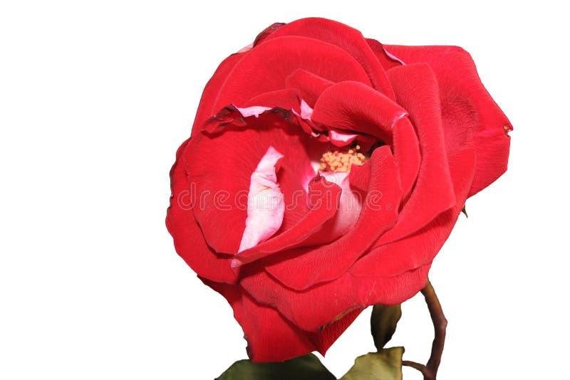 Odosobniony luksusowy jaskrawy czerwieni róży kwiat na białym tle obraz royalty free