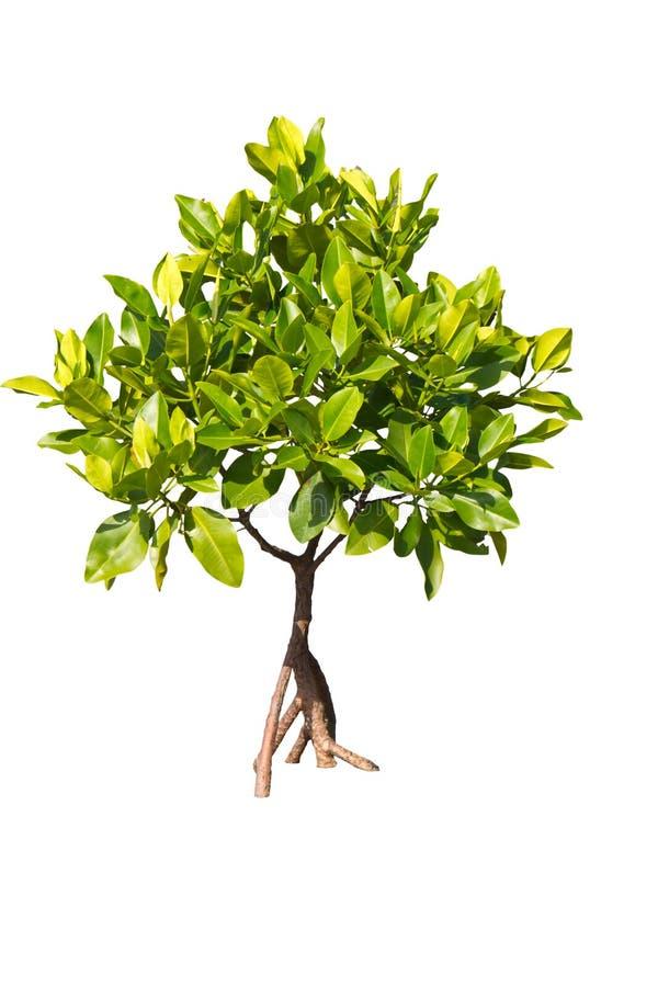 Odosobniony młody namorzynowy drzewo zdjęcie stock