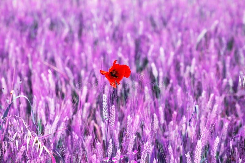 Odosobniony Makowy kwiat w feld polu zmieniający kolor obrazy royalty free