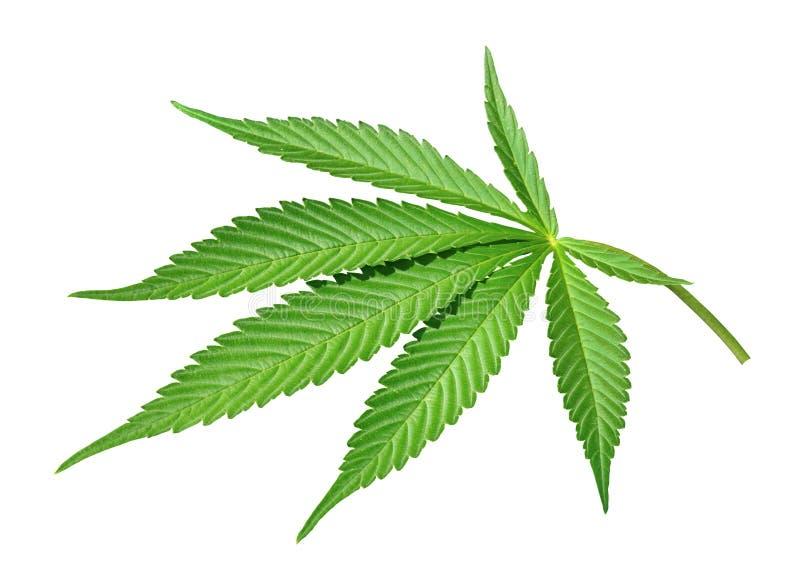 Odosobniony marihuana liść obraz royalty free