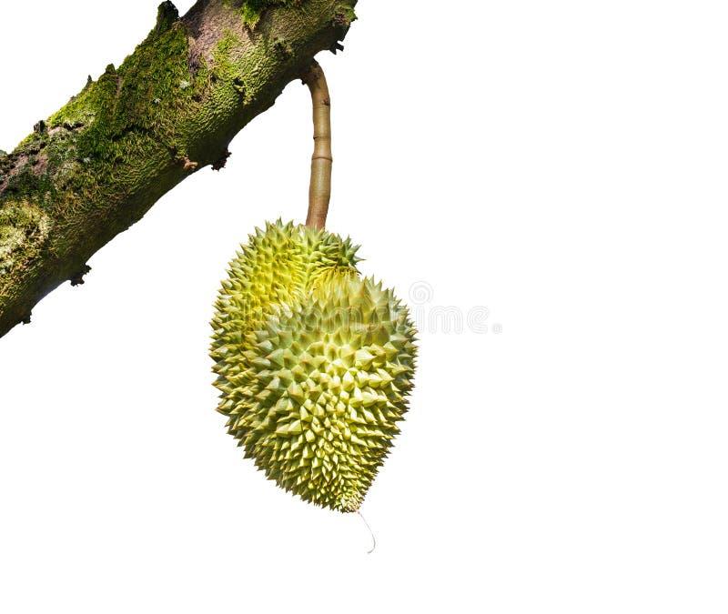 Odosobniony Mon pasek lub Złoty poduszki durian, królewiątko tropikalny fru fotografia stock