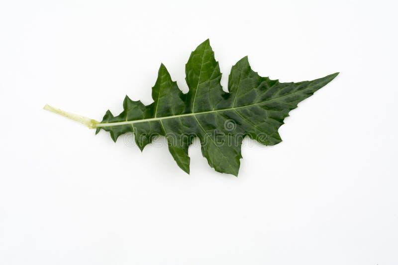 Odosobniony odgórnego widoku świeży zielony denny holly lub akantu ebracteatus fotografia royalty free