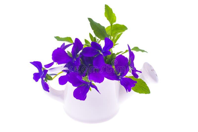 Odosobniony Ogrodowy bukiet purpury kwitnie w białym wateri obraz royalty free