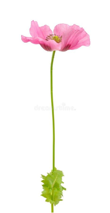 odosobniony opiumowego maczka biel zdjęcia royalty free