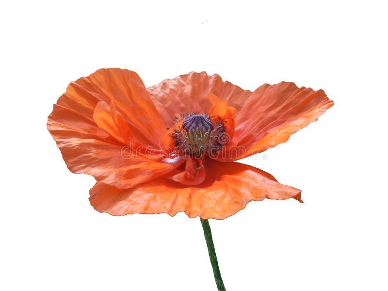 Odosobniony pomarańczowy makowy kwiat z pudełkiem ziarna i stamens zamykamy w górę zdjęcie royalty free