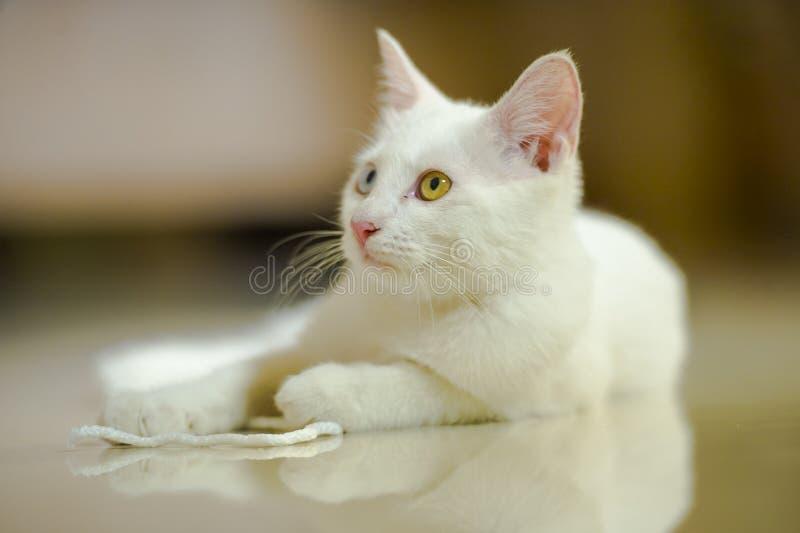 Odosobniony portret biały piękny kot z zadziwiającym różnym kolorem ono przygląda się, jeden oka błękit na brązie bawić się w dom zdjęcia royalty free