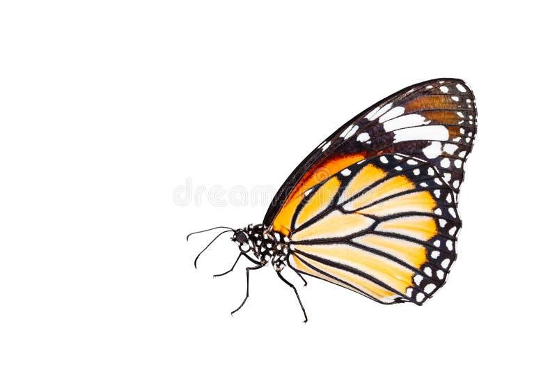 Odosobniony pospolity tygrysi motyl na bielu zdjęcia stock