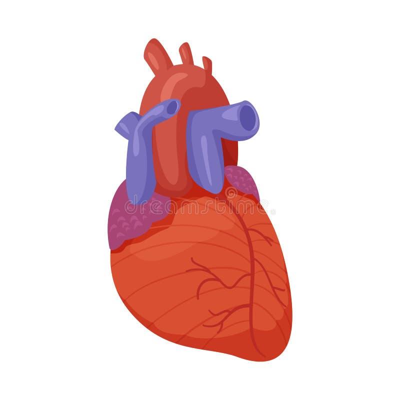 Odosobniony przedmiot ciała i istoty ludzkiej znak Set ciało i medyczna akcyjna wektorowa ilustracja ilustracji